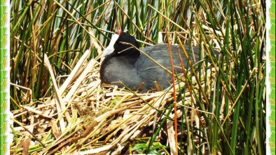 Red Knobbed Coot