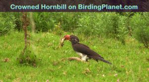 Crowned Hornbill bird on Birding Planet