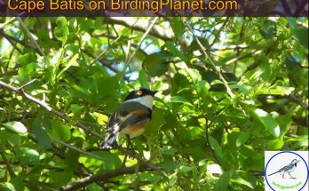 Cape Batis on Birding Planet