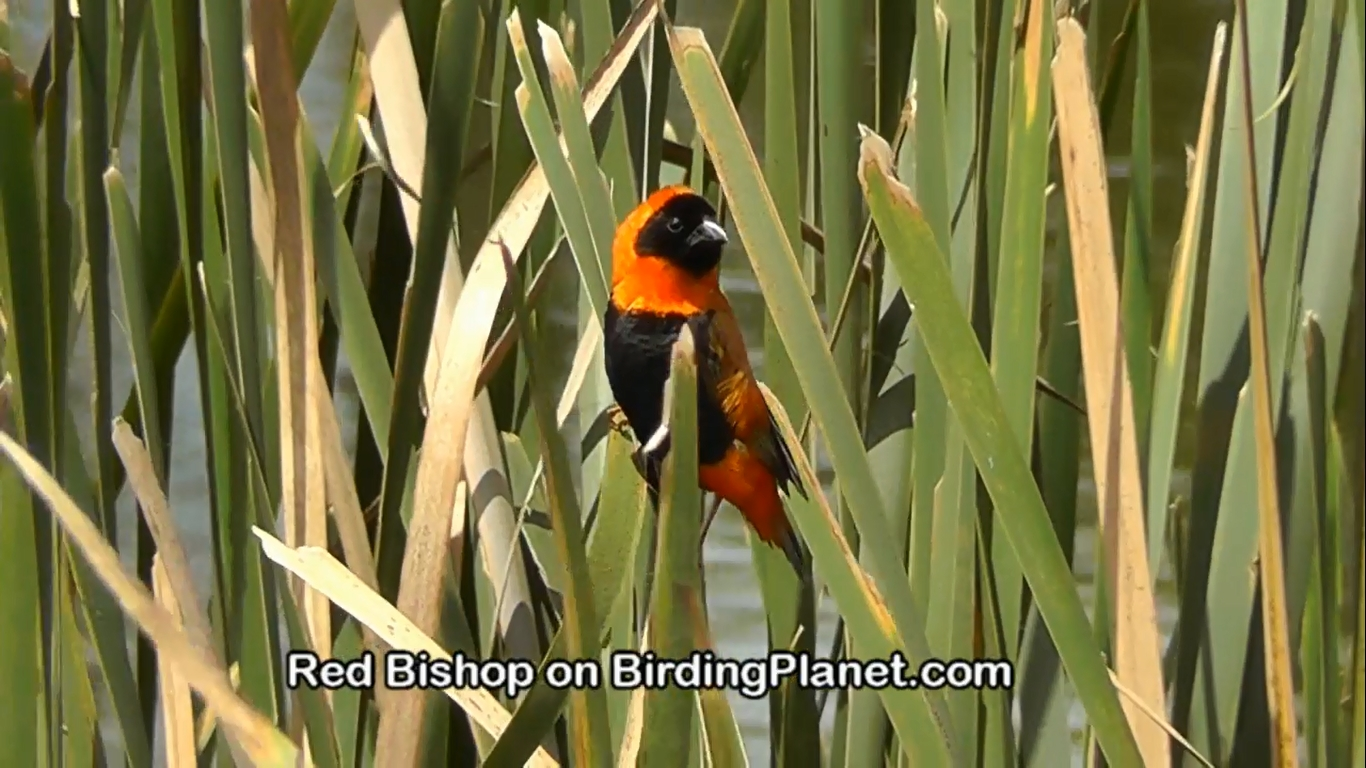Southern Red Bishop on Birding Planet (HD Video)