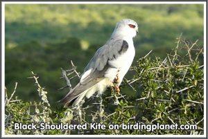 Black Shouldered Kite on Birding Planet