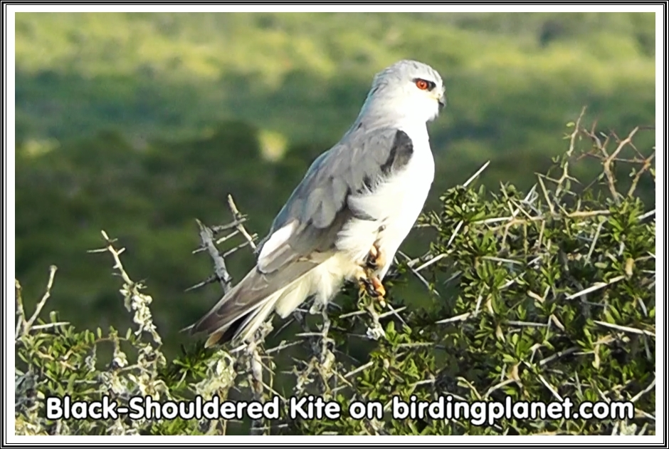 Black Shouldered Kite on Birding Planet