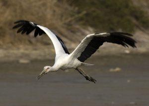 The Oriental Stork