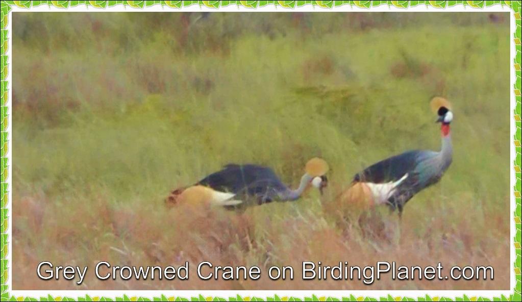 Crowned Crane HD Video
