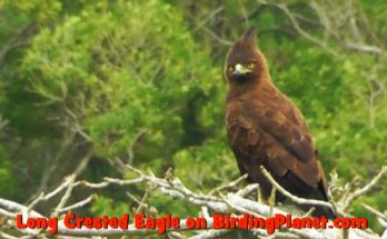 Long Crested Eagle in EL on Birding Planet