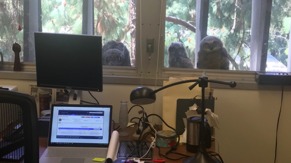 Owls born outside of office window won't stop staring at workers inside