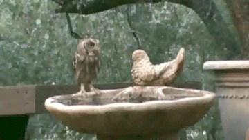 Baby Owls in a Bird Bath