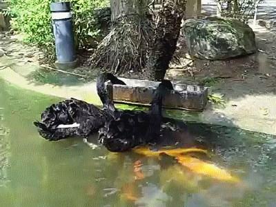 Black Swans Feed Koi