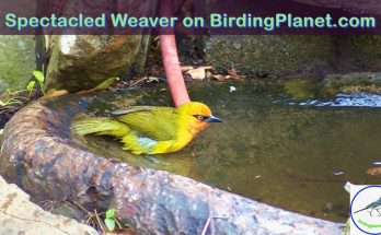 Spectacled Weaver on BirdingPlanet.com