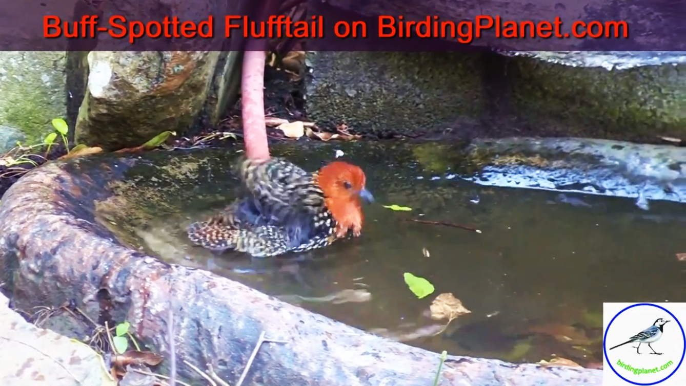 Buff-Spotted Flufftail bathing and drinking (HD Video)