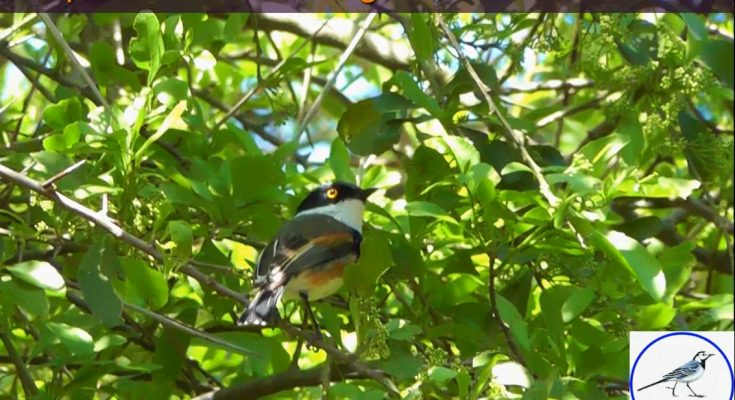 Cape Batis on Birding Planet