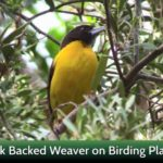 Dark Backed Weaver