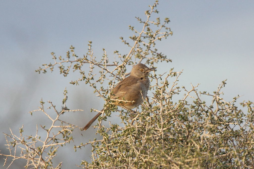 Bendire's Thrasher on birdingplanet.com