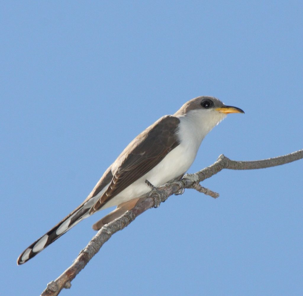 Yellow-Billed Cuckoo on birdingplanet.com