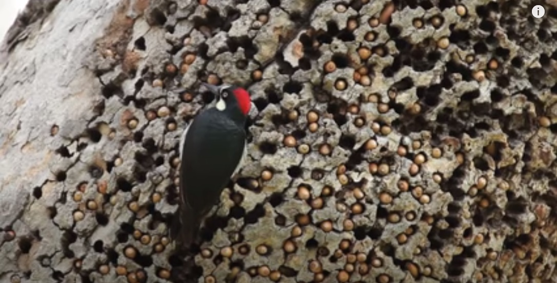 Acorn Woodpeckers Store Nuts in Individual Holes (video)