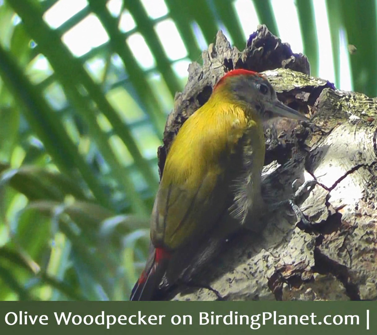Olive Woodpecker pecking bark and finding insects (video)