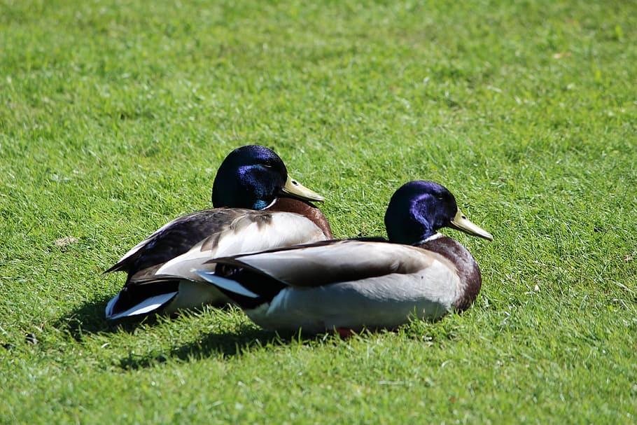 Interesting Bird Fact – Guard Ducks Sleep with One Eye Open