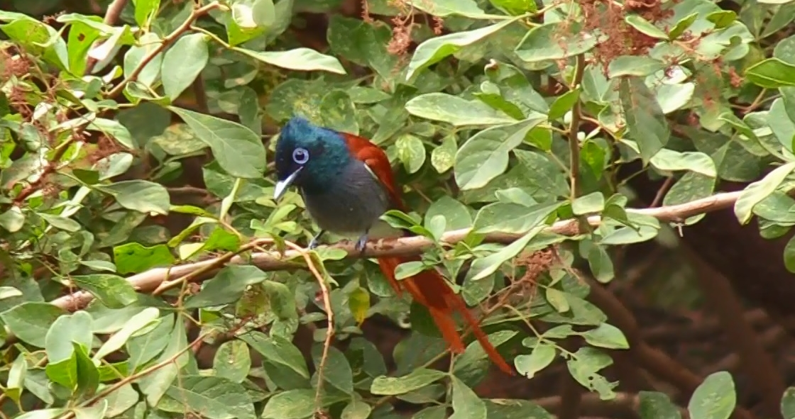 African Paradise Flycatcher – Diving for Insects Video