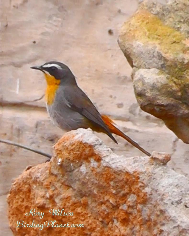 Cape Robin on BirdingPlanet.com