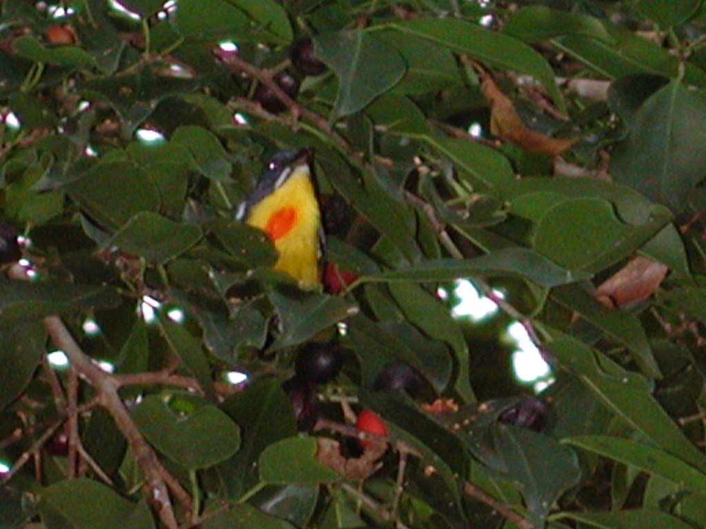Crimson Breasted Flowerpecker in birding in malaysia on birdingplanet.com