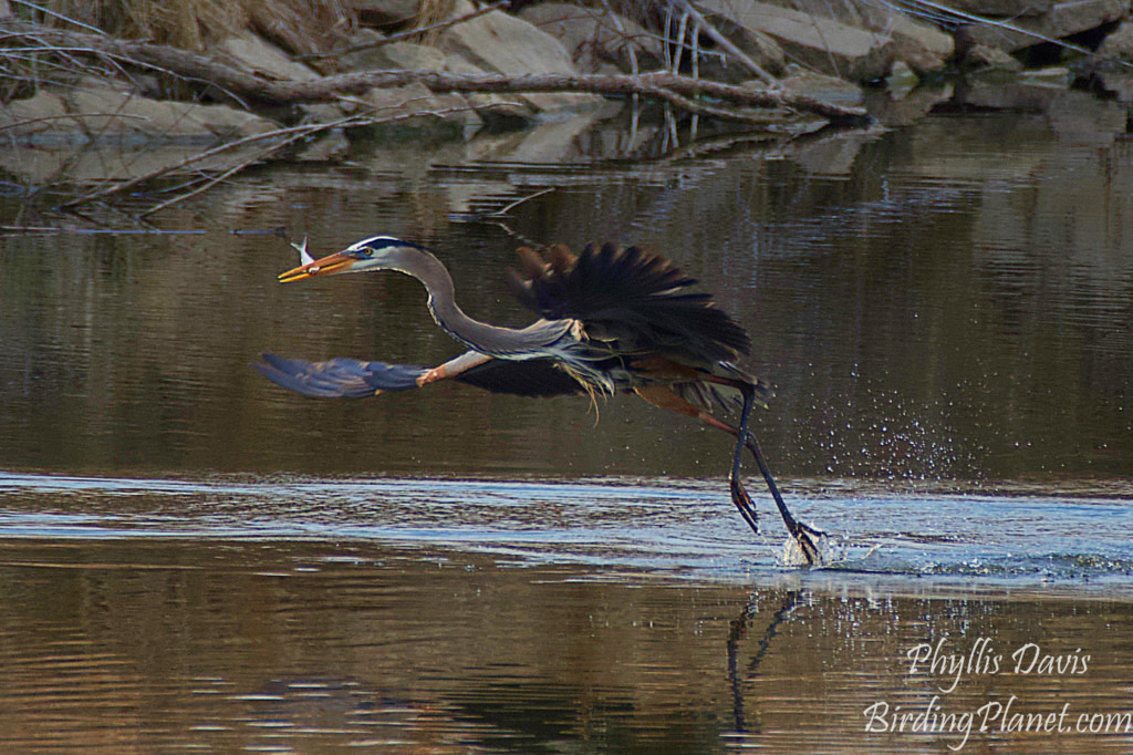 Great Blue Heron catching fish on birdingplanet.com