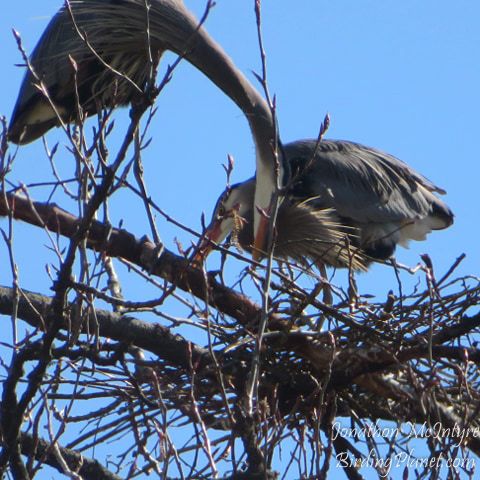 Great Blue Heron nesting on birdingplanet.com