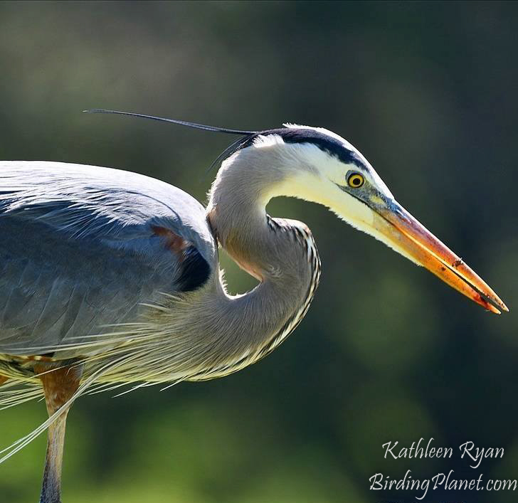 Great Blue Heron on birdingplanet.com