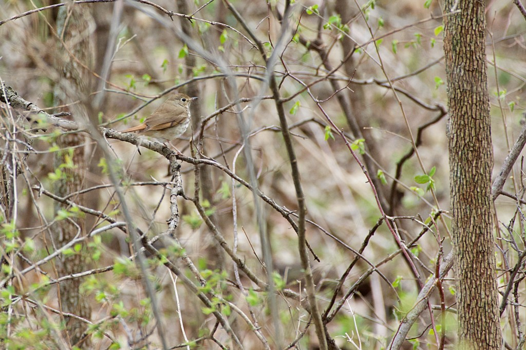 hermit thrush seen while birdwatching in Iowa  on birdingplanet.com