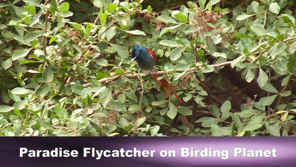 African Paradise Flycatcher on BirdingPlanet.com - taken by Rory Wilson