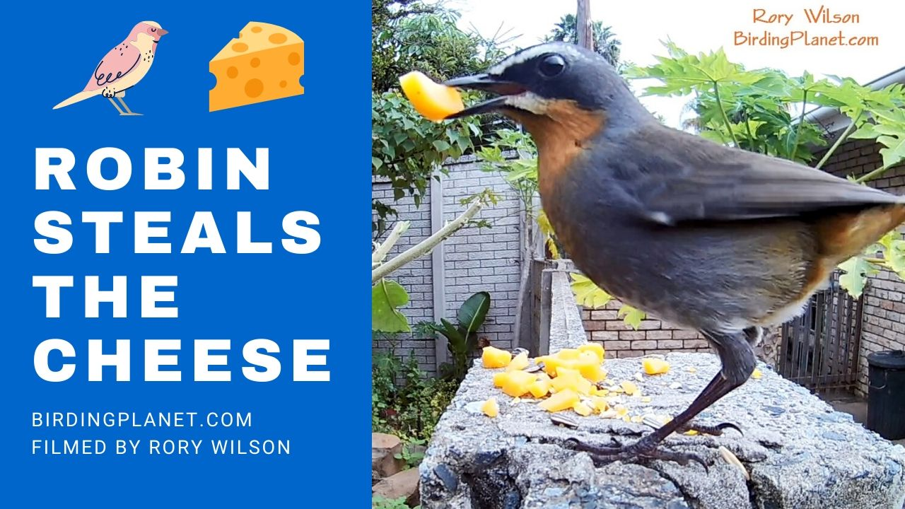 Cape Robin-Chat: Close up videos of eating habits