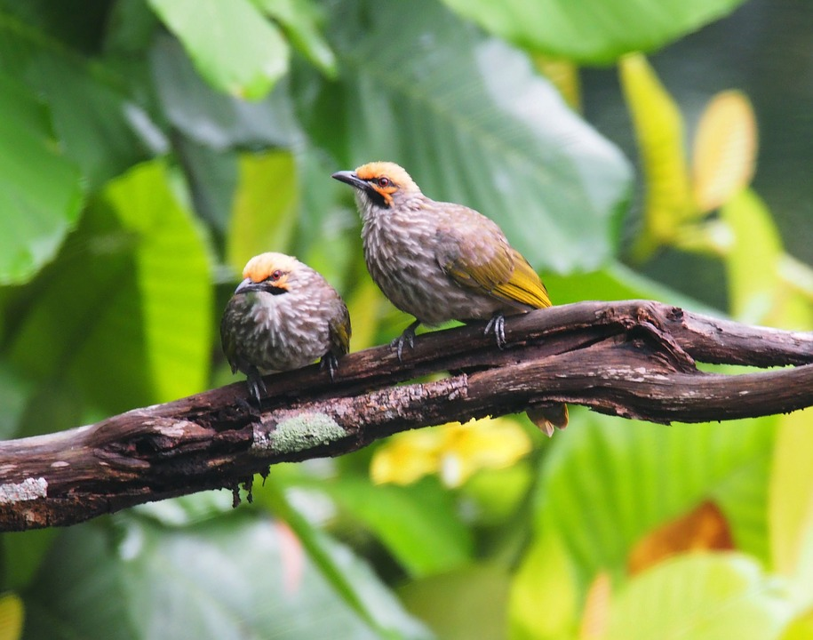 Straw-headed Bulbuls on BirdingPlanet.com
