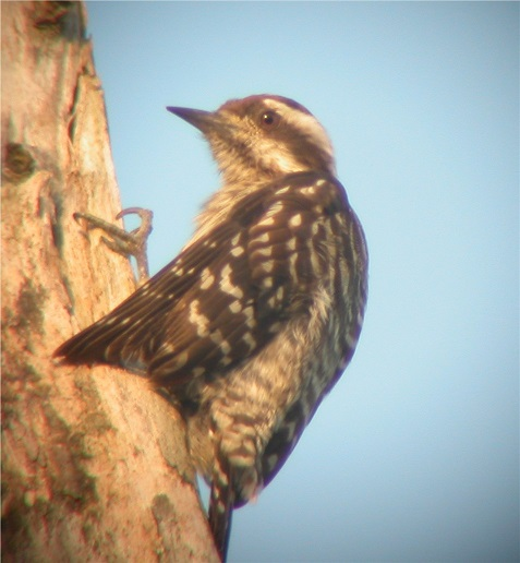 Sunda Pygmy Woodpecker on birdingplanet.com