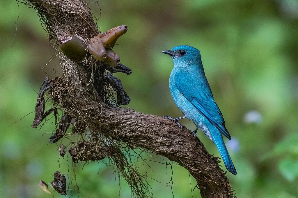 Verditer flycatcher while Birdwatching in Malaysia on BirdingPlanet.com