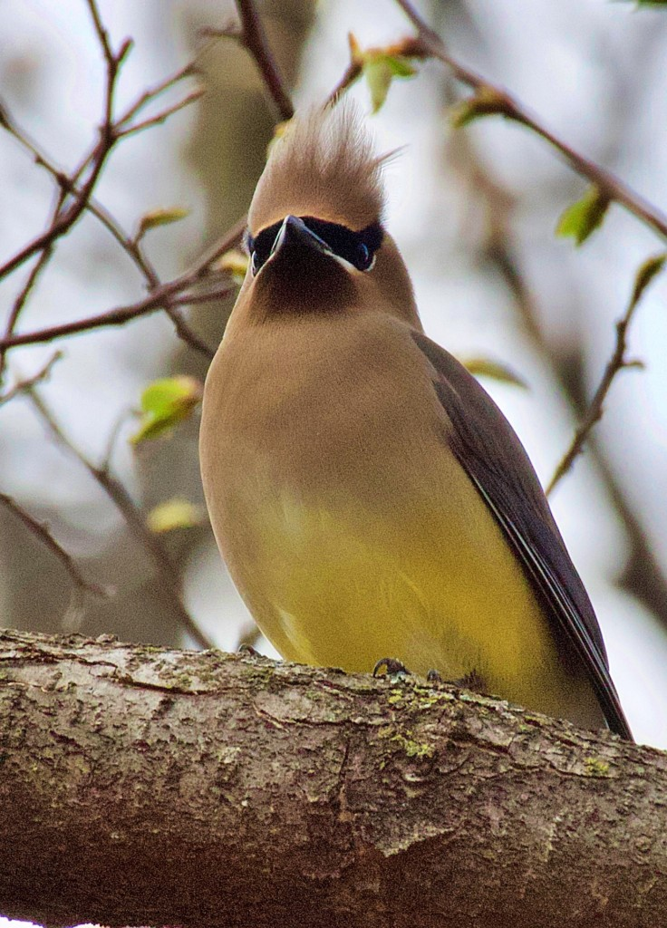cedar waxwing seen while birdwatching in Iowa on birdingplanet.com