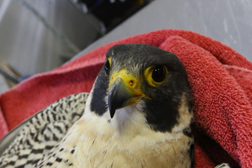 falcon rare group