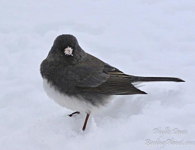 Dark Eyed Junco on Birding Planet