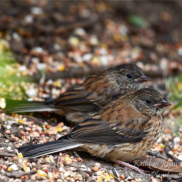 Dark Eyed Junco juveniles on Birding Planet