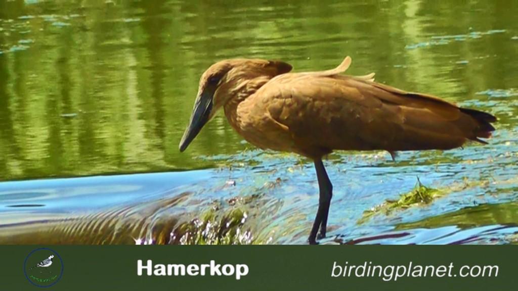 Hamerkop on BirdingPlanet.com