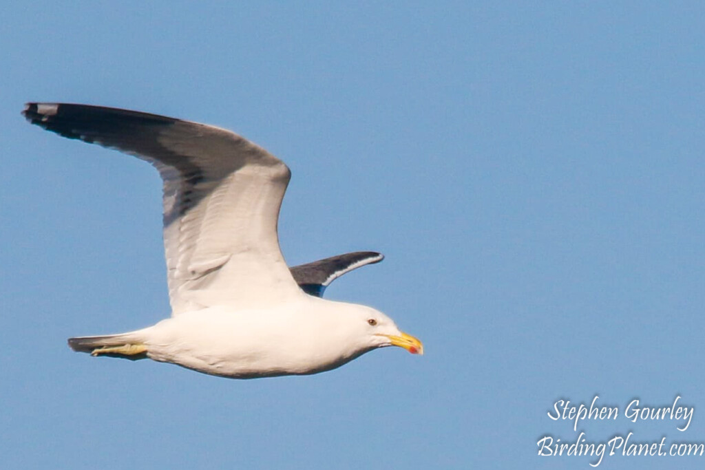 Kelp Gull in flight on BirdingPlanet.com