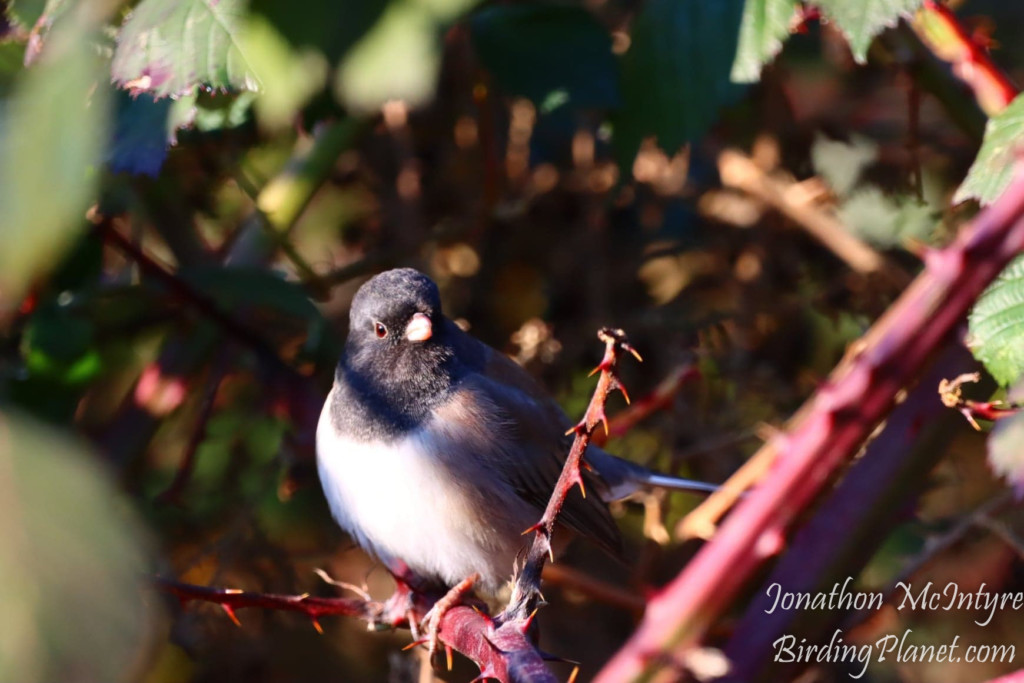 Male Dark Eyed Junco (Oregon) on Birding Planet
