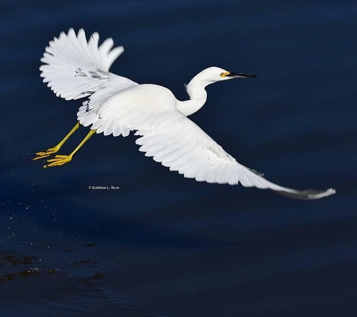Snowy Egret in flight on BirdingPlanet.com