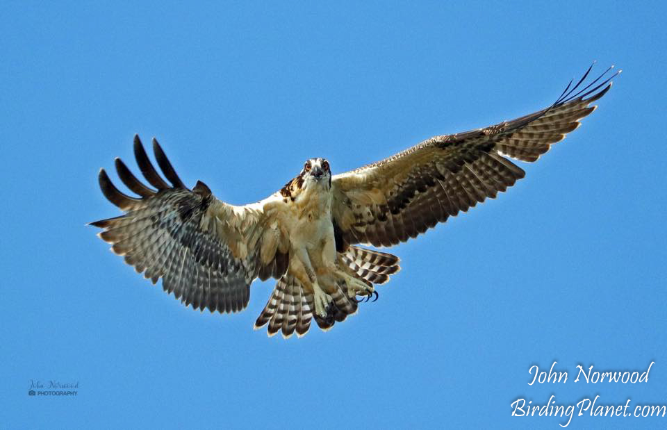 Osprey on Birding Planet